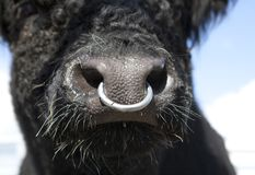 Bull With Nose Ring Stock Image