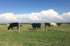 Bull y vacas Imágenes de archivo libres de regalías