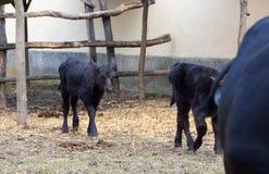 Bull, young black bulls. Close up of young black bulls eating hay Royalty Free Stock Image