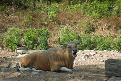 Bull. At a zoo in the city of Chonburi, Thailand royalty free stock images