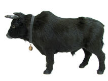 bull01 Стоковая Фотография