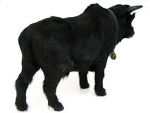 bull03 Arkivfoto