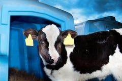 Bullcalf tegen een blauwe hemel Royalty-vrije Stock Afbeeldingen