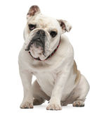 Bulldog,10 months old, sitting Stock Image