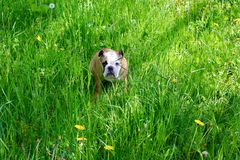 bulldog imagem de stock royalty free