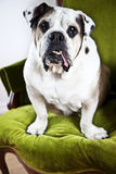 Bulldog Stock Images