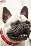Bulldog Stock Image
