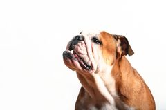 Bulldog. Headshot Stock Photos