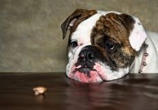 Bulldog Stock Photography