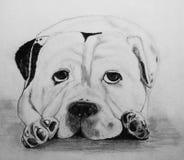 Bulldog. Charcoal sketch of an Old English Bulldog Royalty Free Stock Images