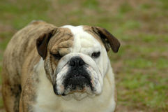 Bulldog Royalty Free Stock Photography