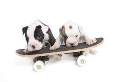Bulldog Fotografie Stock
