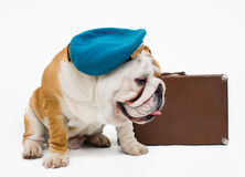 Bulldog Stock Photos