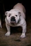 bulldog Fotografia de Stock