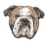 bulldog Fotos de Stock