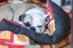 bulldog Imágenes de archivo libres de regalías
