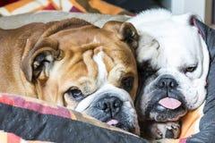 bulldog Fotos de archivo libres de regalías