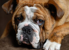 Bulldog. Red brindle bulldog 9 months old - champion bloodlines Royalty Free Stock Photos