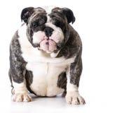 bulldog Imagenes de archivo