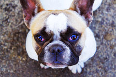bulldog fotos de archivo