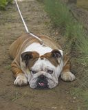 Bulldog. On the exhibition Stock Images