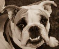 bulldog Imagens de Stock
