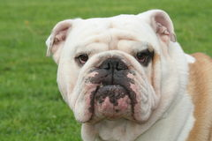 Bulldog. Portrait stock photography
