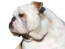 Bulldog Stock Photo