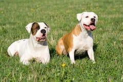 Bulldog americani Fotografia Stock Libera da Diritti