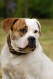 Bulldog americano Immagini Stock Libere da Diritti