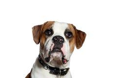 Bulldog americano curioso Fotografia Stock