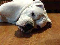 Bulldog americano di riposo Immagini Stock Libere da Diritti