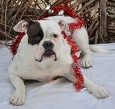 Bulldog americano Kepler Fotografie Stock Libere da Diritti
