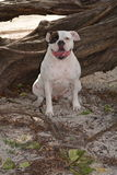 Bulldog americano Kepler Immagine Stock