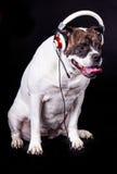 Bulldog americano sul fan della musica nero della cuffia avricolare del cane del fondo Fotografie Stock Libere da Diritti