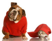 Free Bulldog And Cat Playing Stock Photos - 9886043