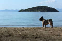 Bulldog. On the asia beach Stock Image