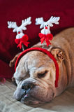 Bulldog asleep after Christmas. A cute bulldog decorated with reindeer asleep after Christmas dinner Royalty Free Stock Images