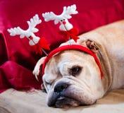 Bulldog asleep after Christmas. A cute bulldog decorated with reindeer asleep after Christmas dinner Royalty Free Stock Images