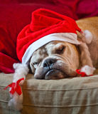 Bulldog asleep after Christmas. A cute bulldog decorated with reindeer asleep after Christmas dinner Stock Images