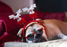 Bulldog asleep after Christmas. A cute bulldog decorated with reindeer asleep after Christmas dinner Royalty Free Stock Photography