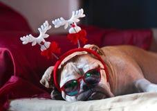 Bulldog asleep after Christmas Royalty Free Stock Photography