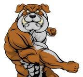 Bulldog attacking. A tough muscular bulldog mascot character in a fight punching Royalty Free Stock Photo