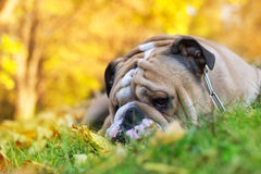 Bulldog in autumn Stock Image