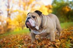 Bulldog in autunno Fotografia Stock Libera da Diritti