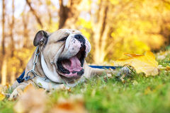 Bulldog in autunno fotografie stock