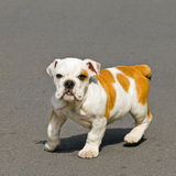 Bulldog baby Royalty Free Stock Photography