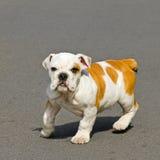 Bulldog baby. Young English bulldog puppy looking at camera Royalty Free Stock Photography