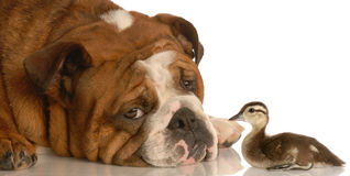 Bulldog with baby duck. English bulldog with baby mallard duck isolated on white background stock photography