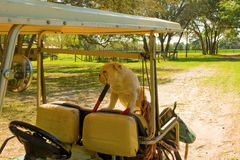 A bulldog in the back of a golf cart. A pet waiting patiently for its owner at a horse farm in ocala Stock Photos
